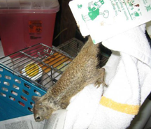 squirrel on flypaper
